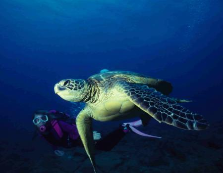 snorkeling with sea turtles hawaii