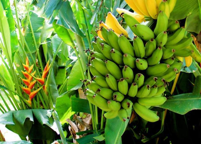 Bananas growing on property