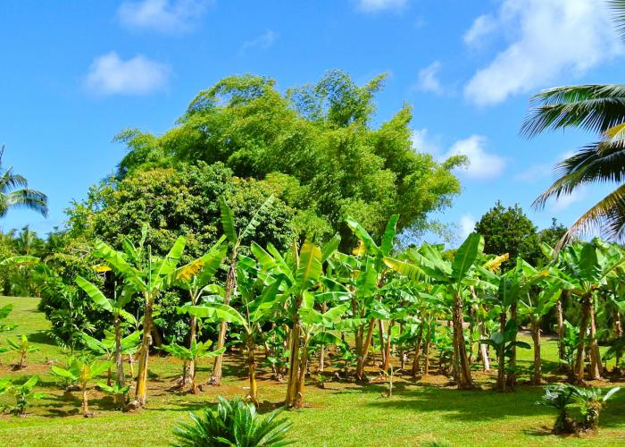 Banana tree grove