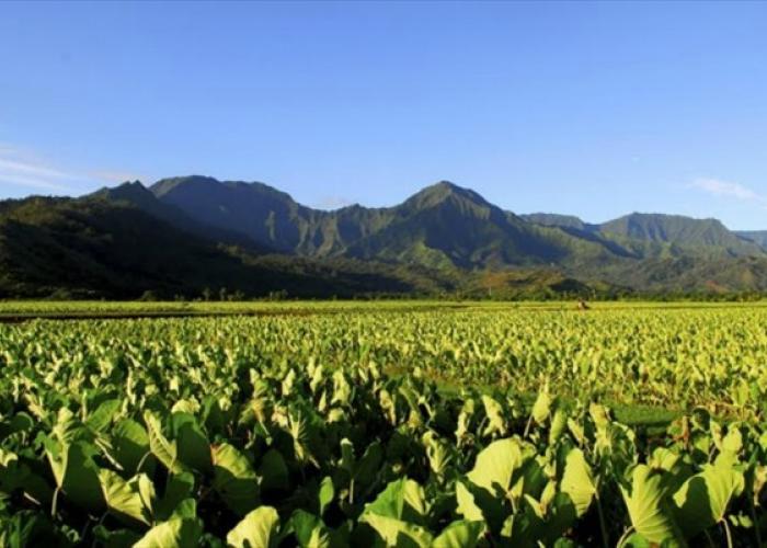 Taro fields