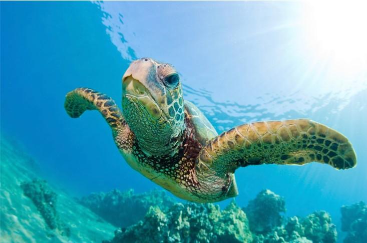 An image of a turtle at the Waikīkī Aquarium, which is found along Honolulu, Hawaii's Gold Coast.