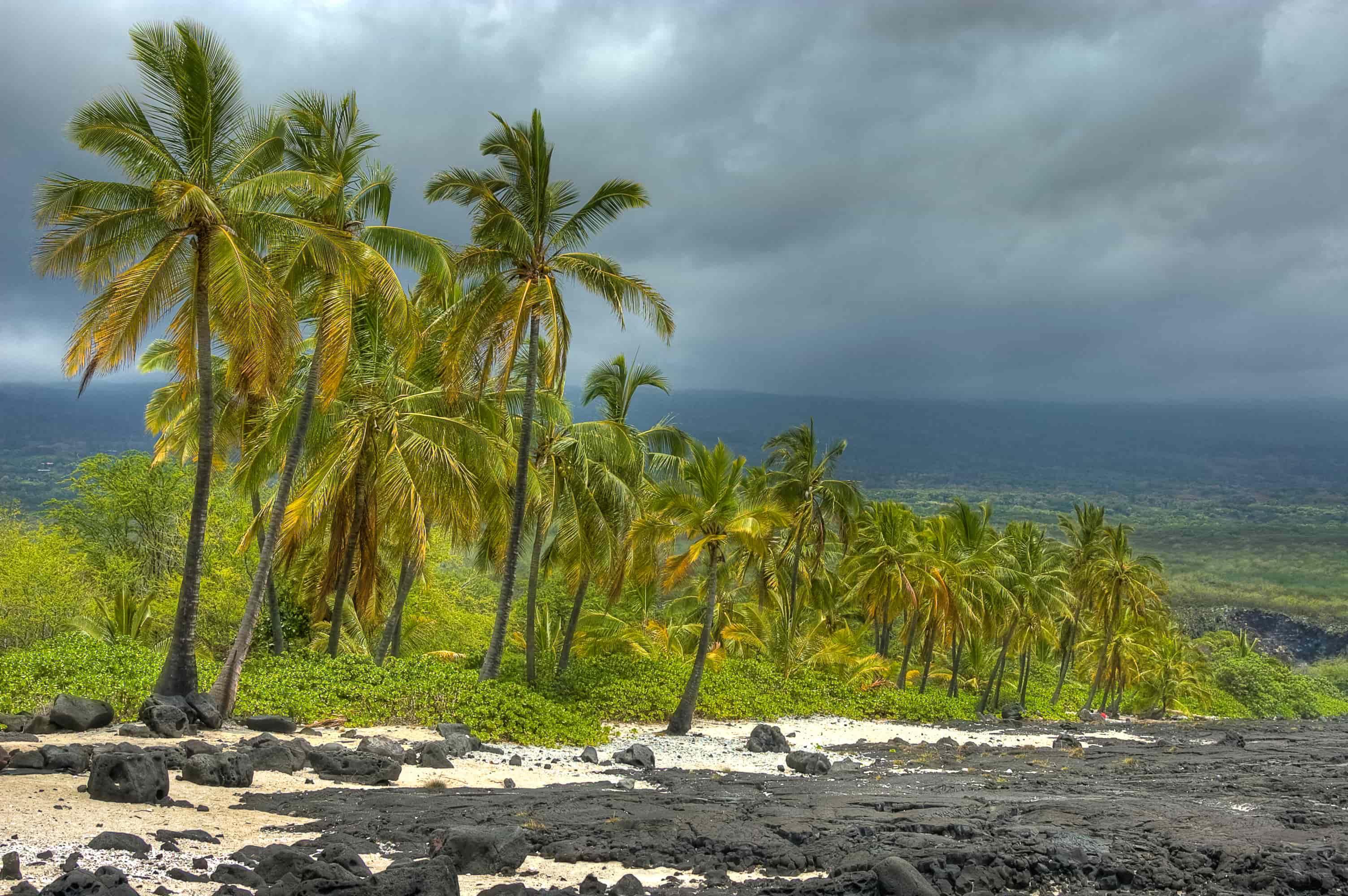big island palm trees