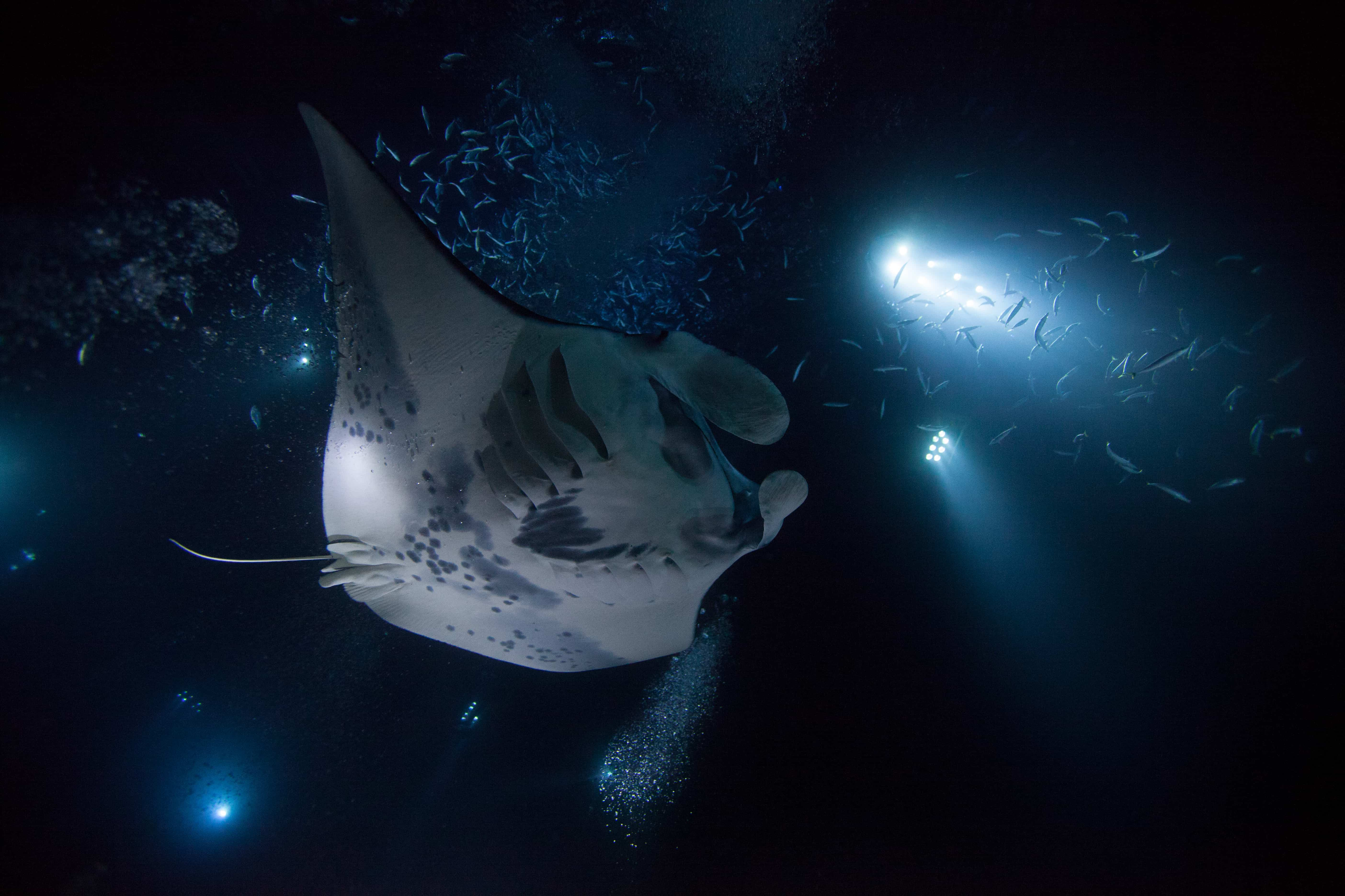 big island scuba diving manta rays