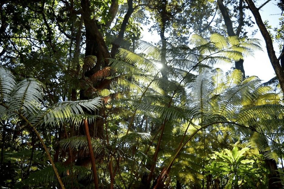 kipukapuaulu forest big island