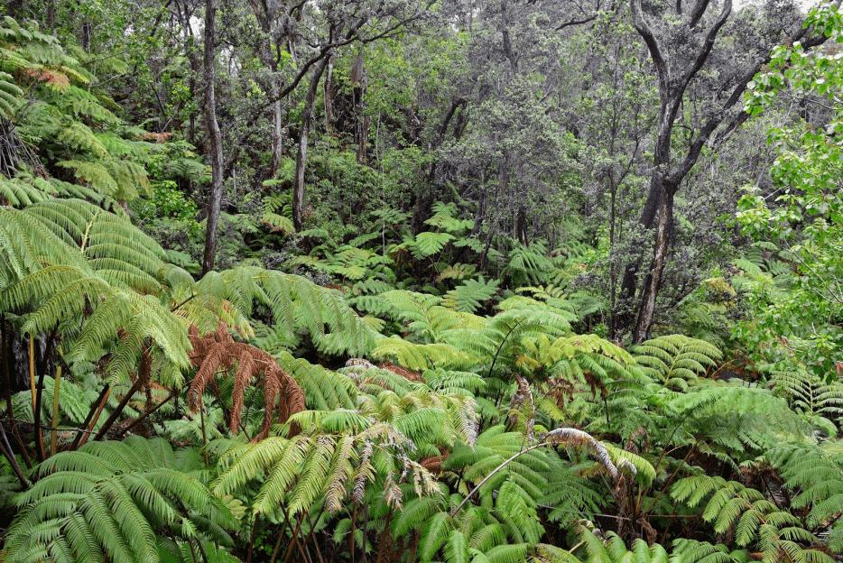 kipukapuaulu mamaki plant