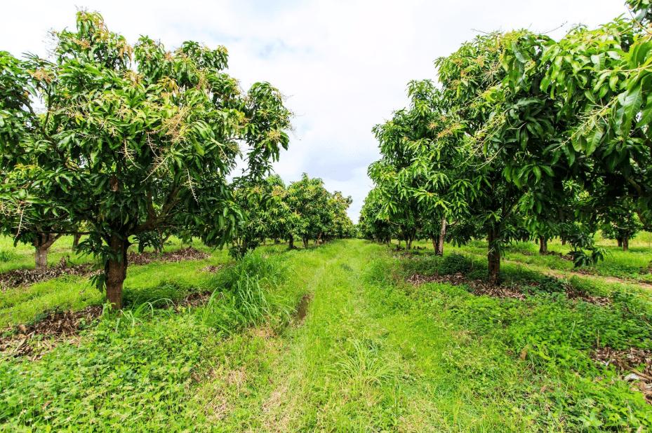 mango orchard in hawaii