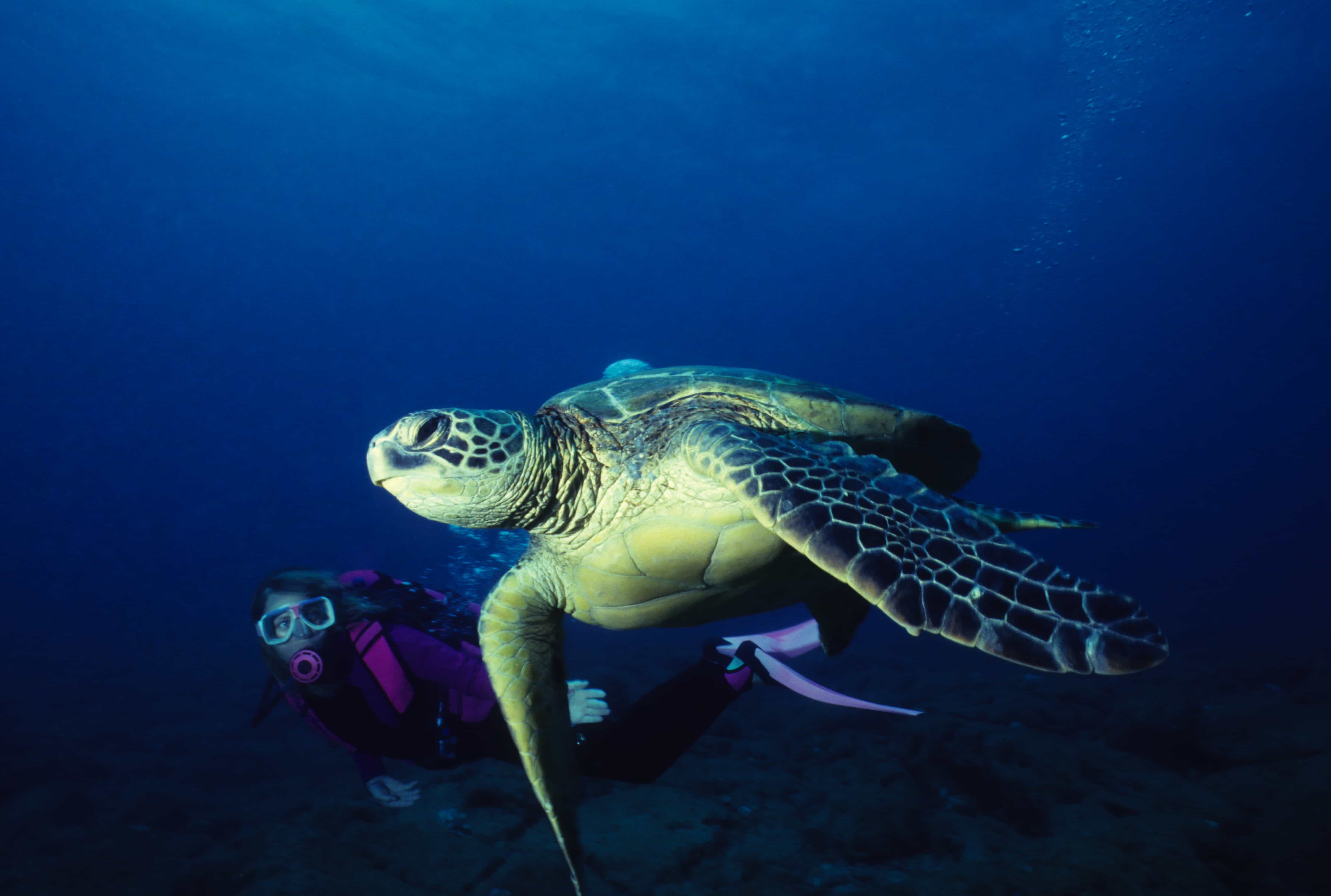 scuba dive sea turtles hawaii
